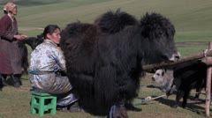 Mongolia: Milking the Yaks Stock Footage