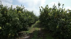 Lemon tree orchard rows in Israel. Stock Footage