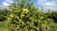 Stock Video Footage of rows of trees in a lemon orchard.