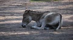 Donkey in wild Stock Footage