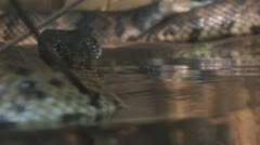 Cottonmouth Moccasin Stock Footage