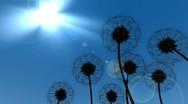 Dandelions in the Breeze Stock Footage