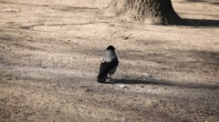 Portrait Crow Sitting On The Ground Raven Resting Scared Scary Running Wildlife Stock Footage