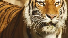 Asian Tiger Watching Stock Footage