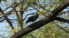 Crow Corvus Corvidae Green Tree Summer Raven Looking Searching Resting Sitting - stock footage