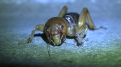 Jerusalem Cricket Close Up Crawling Off Screen Stock Footage