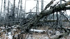 old trees in winter forest - stock footage
