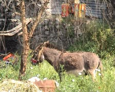 Donkey in village Stock Footage