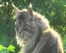 Tabby Maine Coon cat close up miaowing outdoors Stock Footage