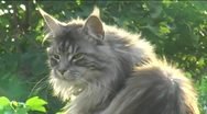 Stock Video Footage of Tabby Maine Coon cat close up miaowing outdoors