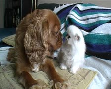 Spaniel + Persian kitten touch noses Stock Footage