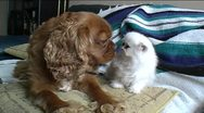 Stock Video Footage of Spaniel + Persian kitten touch noses