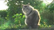 Stock Video Footage of Maine Coon cat on fence backlit