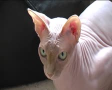 Pale sphynx cat close up Stock Footage