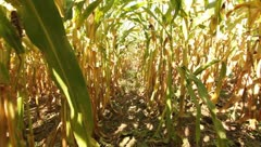 Walking between stalks of corn in field Stock Footage