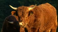Horned brown bull 3/5 Stock Footage