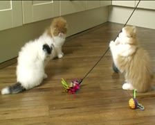 Three Persian kittens playing indoors Stock Footage