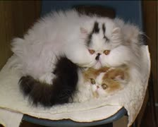 Two Persian cats, one on top Stock Footage