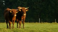 Stock Video Footage of two brown bulls 2/5