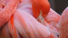 Pink Flamingo Closeup Stock Footage