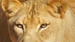 Lion Lioness African Stock Footage