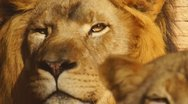Stock Video Footage of Lion Lioness African
