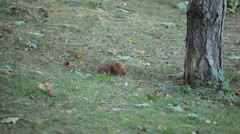 Squirrel Looking, Eating, Running, Searching for Winter Season in Autumn Day Stock Footage