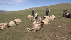 Mongolia: Tieing Down a Sheep for Sheering Stock Footage