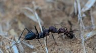 Ants 02 Stock Footage