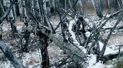 Old trees in winter forest Stock Footage