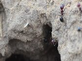 Ants 05 Stock Footage