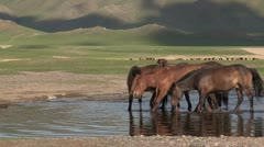 Mongolia: Horses Stop to get a drink in the evening light Stock Footage