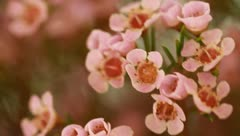 Close up shot of small pink flowers swaying Stock Footage
