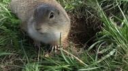 Ground squirrel Stock Footage