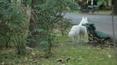 White Big Dog in Park Stock Footage