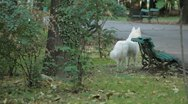 Stock Video Footage of White Big Dog in Park