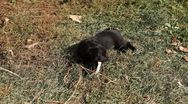 Stock Video Footage of Black Little Dog, Puppy playing, eating