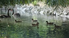 Beautiful Exotic Goose, Duck in a Park Lake, Small Pond, Birds - stock footage