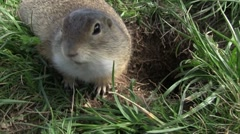 Ground squirrel Stock Footage
