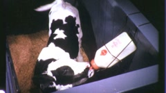 Calf in Pen Circa 1965 (Vintage Film Industrial Footage) 1259 Stock Footage