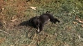 Black Little Dog, Puppy playing, eating HD Footage