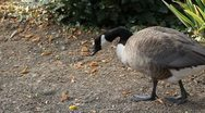 Beautiful Exotic Goose, Duck in a Park Lake, Small Pond, Birds Stock Footage