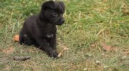 Stock Video Footage of Homeless Black Little Dog, Puppy playing, eating