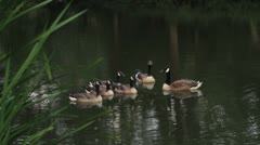 swans  at a park - stock footage