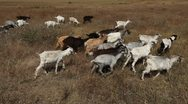 Stock Video Footage of Goat, Goats, Laying, Feeding, Eating, Sleeping in Nature, Wildlife