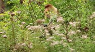 Stock Video Footage of proboscis monkey eating 2