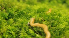 Macro Myriapods Crawling in Grass Stock Footage