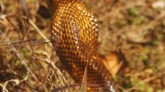 Cape Cobra Africa Stock Footage