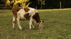 Bavarian cow Stock Footage