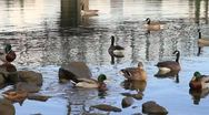 Waterfowls Swimming in Willamette River Portland Oregon Stock Footage